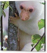 Spotted Cuscus Phalanger Maculatus Acrylic Print