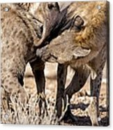 Spotted Hyena Greeting Ritual Acrylic Print