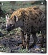 Spotted Hyena Acrylic Print