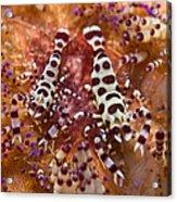 Spotted Periclimenes Colemani Shrimp Acrylic Print