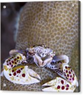 Spotted Porcelain Crab Feeding Acrylic Print