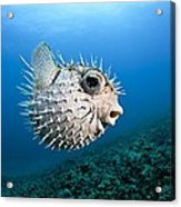 Spotted Porcupinefish Acrylic Print