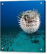 Spotted Porcupinefish II Acrylic Print by Dave Fleetham