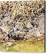 Spotted Sandpiper At The Canal Acrylic Print