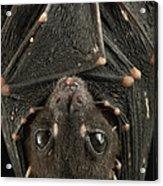 Spotted-winged Fruit Bat Balionycteris Acrylic Print