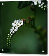 Spray Of White Flowers Acrylic Print