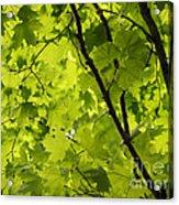 Spring - Beneath The Great Maple Acrylic Print