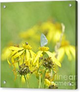 Spring Azure And Friend Acrylic Print