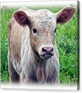 Spring Calf Acrylic Print