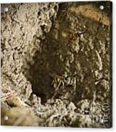Spring Cleaning Pair Of Wasps Carrying Mud From A Yellow-jacket Wasps Nest Acrylic Print by Andy Smy