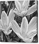 Spring Crocus In Black And White Acrylic Print