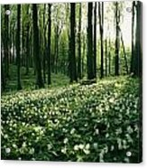 Spring Forest View With Anemones, Rugen Acrylic Print by Sisse Brimberg