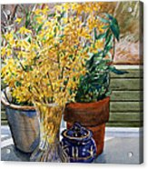 Spring Forthysia Acrylic Print by Peter Sit