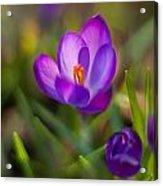 Spring Glow Acrylic Print