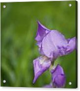 Spring Is Blooming  Acrylic Print