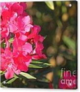 Spring On Oleander Acrylic Print