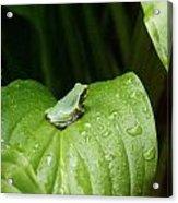 Spring Peeper Acrylic Print by Jon Lord
