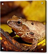 Spring Peeper On Fall Leaves Acrylic Print by Griffin Harris