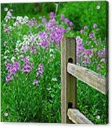 Spring Phlox 6074 Acrylic Print