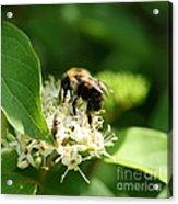 Spring Pollination Acrylic Print