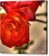 Spring Rose Acrylic Print