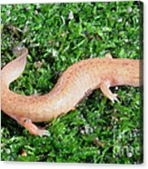 Spring Salamander Acrylic Print