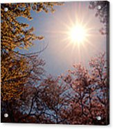 Spring Sunlight Over Cherry Blossoms  Acrylic Print by Vivienne Gucwa