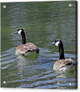 Spring Thaw Water Geese Acrylic Print