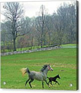 Springs First Prance Acrylic Print by Heather  Boyd