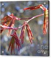 Springtime Japanese Maple Leaves Acrylic Print