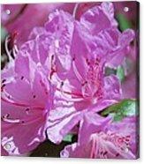 Springtime Pinks Acrylic Print