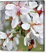 Springtime Weeping Cherry Tree Acrylic Print
