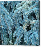 Spruce Conifer Nature Art Prints Trees Acrylic Print