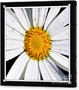 Square Daisy - Close Up 2 Acrylic Print