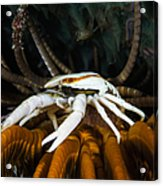 Squat Lobster Carrying Eggs, Indonesia Acrylic Print