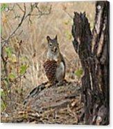 Squirrel And Cone Acrylic Print