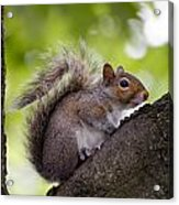 Squirrel Before Green Leaves Acrylic Print