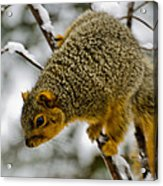 Squirrel Dive Bomber Acrylic Print