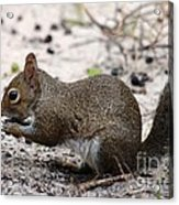 Squirrel Eating Nuts Acrylic Print