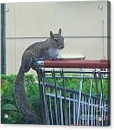 Squirrel Going Shopping Acrylic Print
