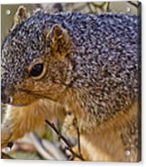 Squirrel Having A Heart Attack Acrylic Print