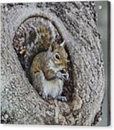 Squirrel In A Knot Acrylic Print