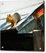 Squirrel On A Hot Tin Roof Acrylic Print