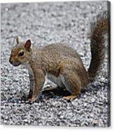 Squirrel On A Road Acrylic Print