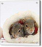 Squirrels In Santa Hat Acrylic Print