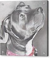 Staffordshire Terrier  Acrylic Print