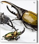 Stag Beetles Acrylic Print