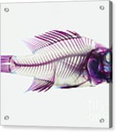 Stained Rockbass Fish Acrylic Print