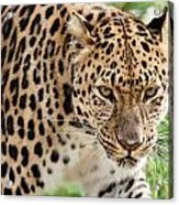 Stalking Amur Leopard Acrylic Print