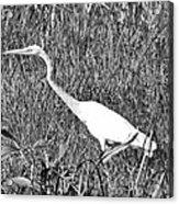 Stalking Egret Acrylic Print
